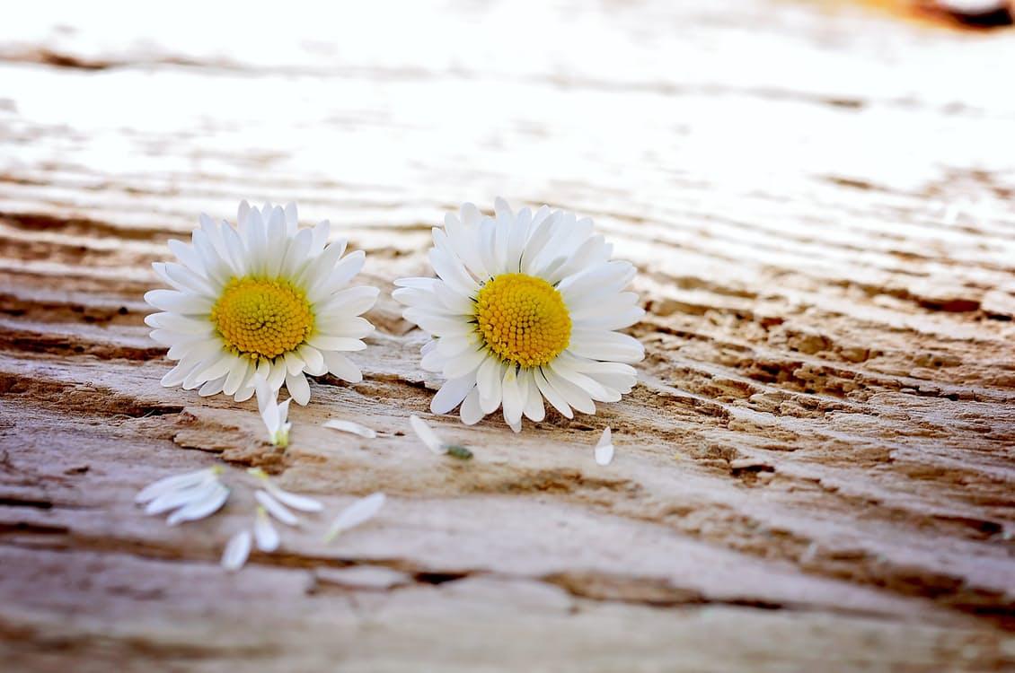 daisy-flowers-wildflowers-wood