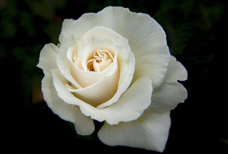 flower-rose-colorful-petals-160916