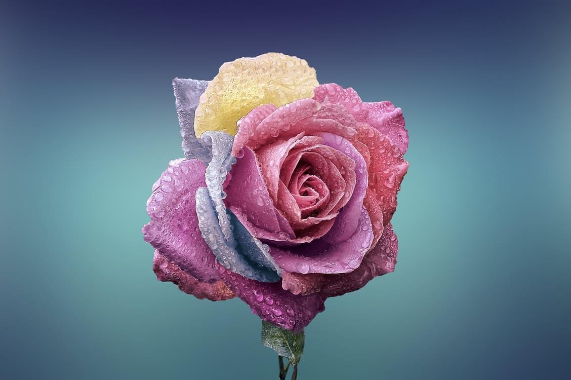 rose-beautiful-beauty-bloom-1