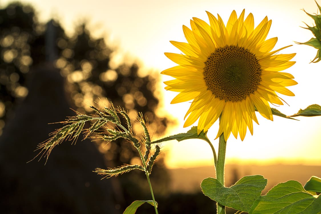 sunflower-sun-summer-yellow-1