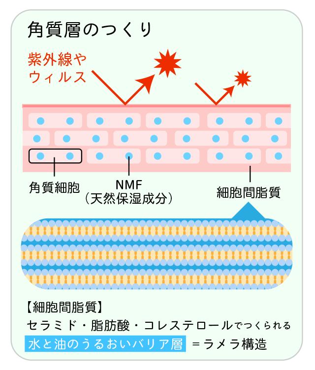 角質層の肌バリア構造