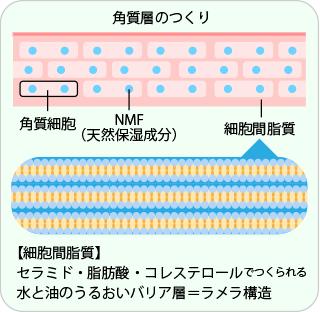 角質層におけるラメラ構造